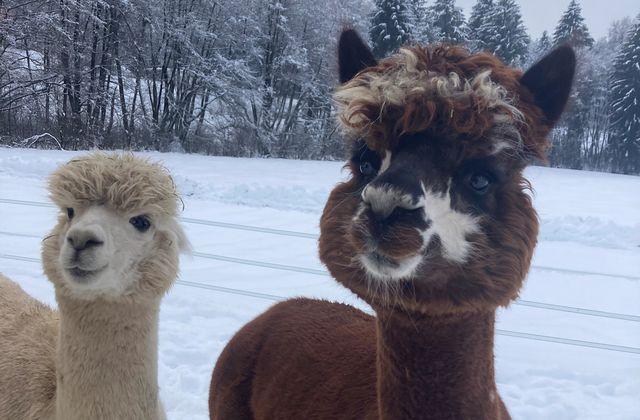 Winterspaß für unsere Alpakas ©Streklhof